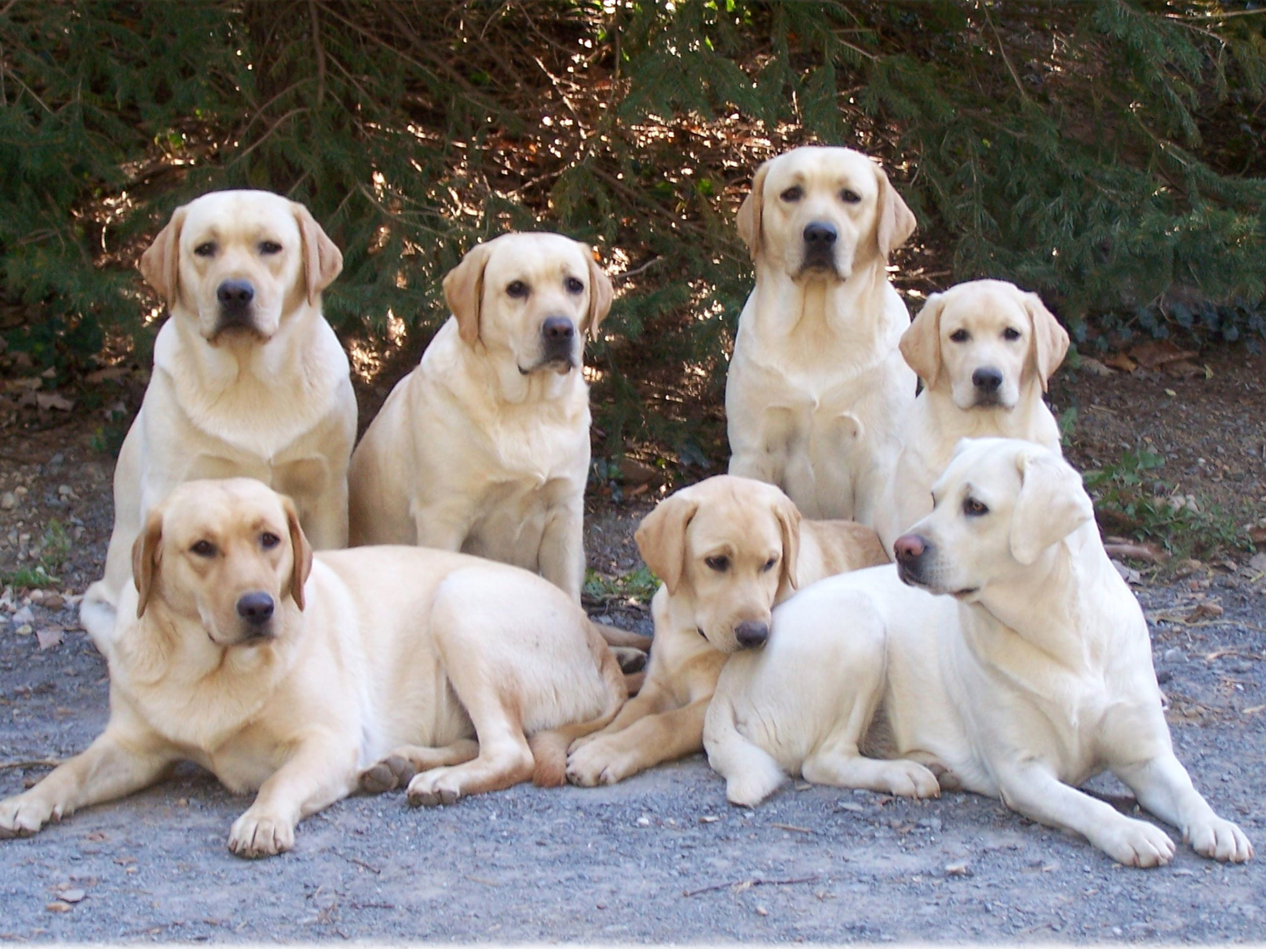 226 best Labs images on Pinterest