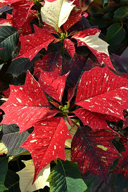 There Are Many Nontraditional Types Of Poinsettias This Is White Glitter Which Is Red Flecked With White Poinsettia Poinsettia Plant Christmas Poinsettia
