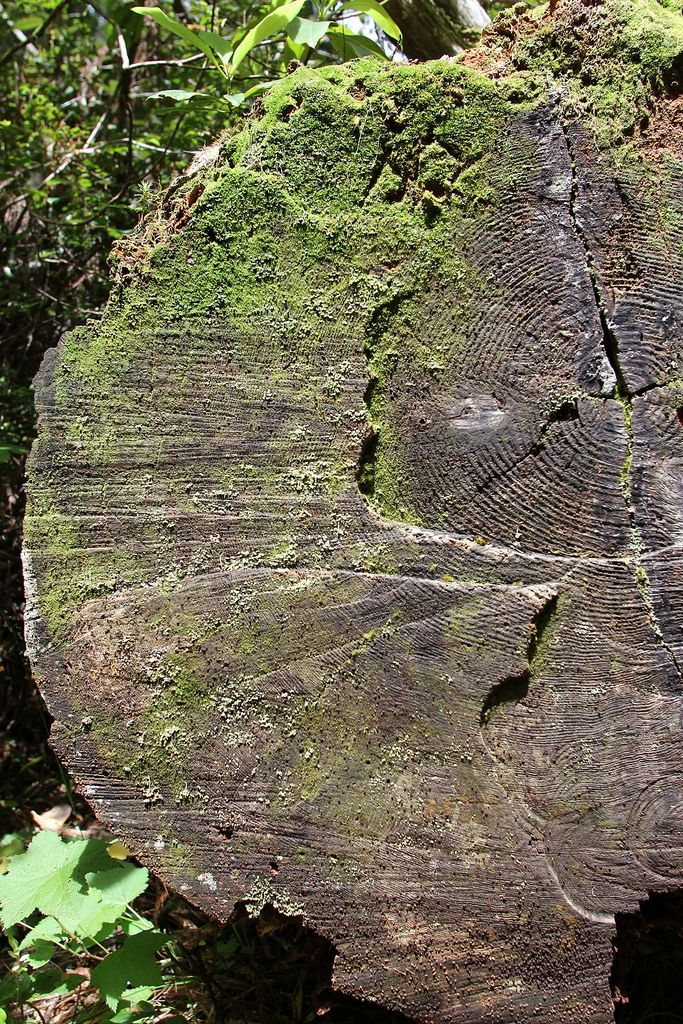 Redwood National Park: Lady Bird Johnson Grove