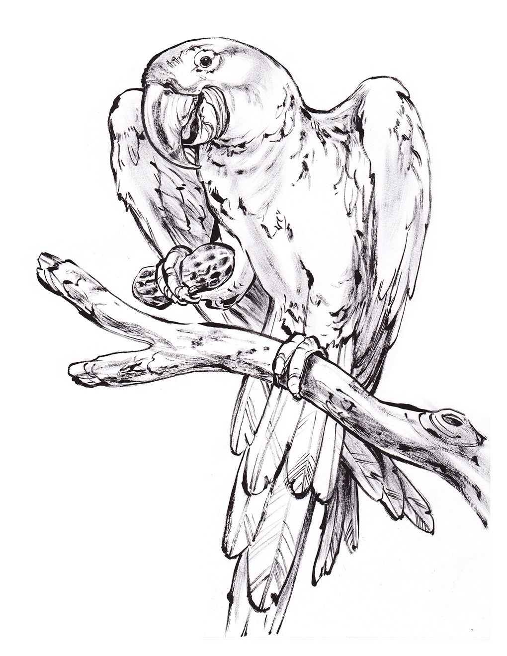 macaw coloring page free coloring pages download xsibe parrot
