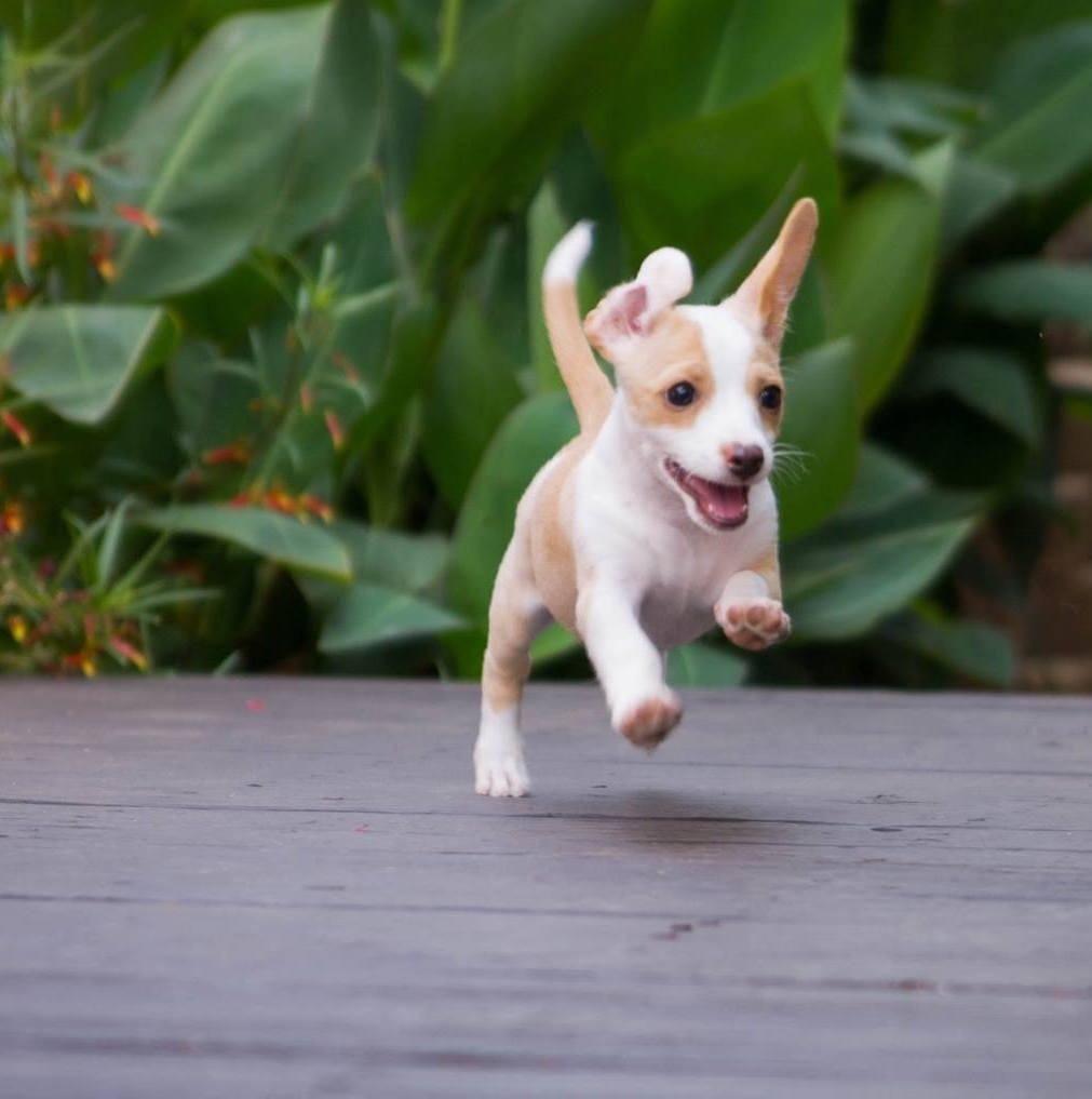 Chiweenie Dog For Adoption In San Diego Ca Adn 522721 On
