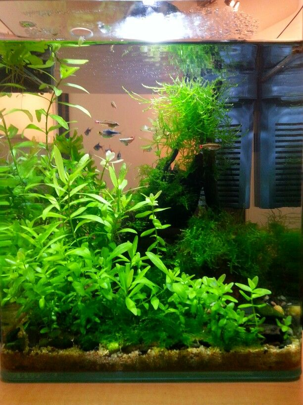 Tank for White Cloud Mountain minnows (Tanichthys