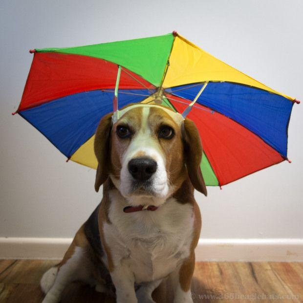55 365 Umbrella Hat Dog Hat Dog Umbrella Dogs