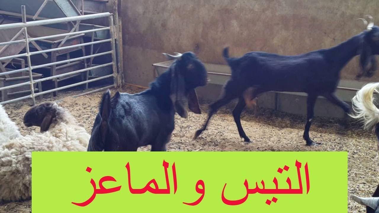 تضريب الماعز التيس والماعز شاهد عملية تضريب الماعز وافضل عمر ووقت لتضريب Places To Visit Visiting Horses