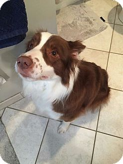 Ypsilanti Mi Border Collie Mix Meet Rhonni A Dog For Adoption