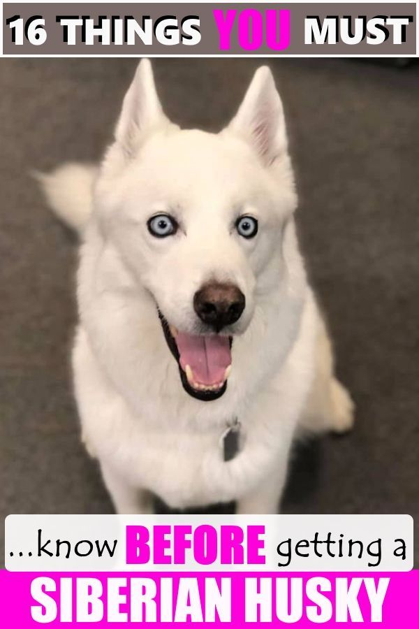16 Things You Must Know Before Buying A Siberian Husky Husky
