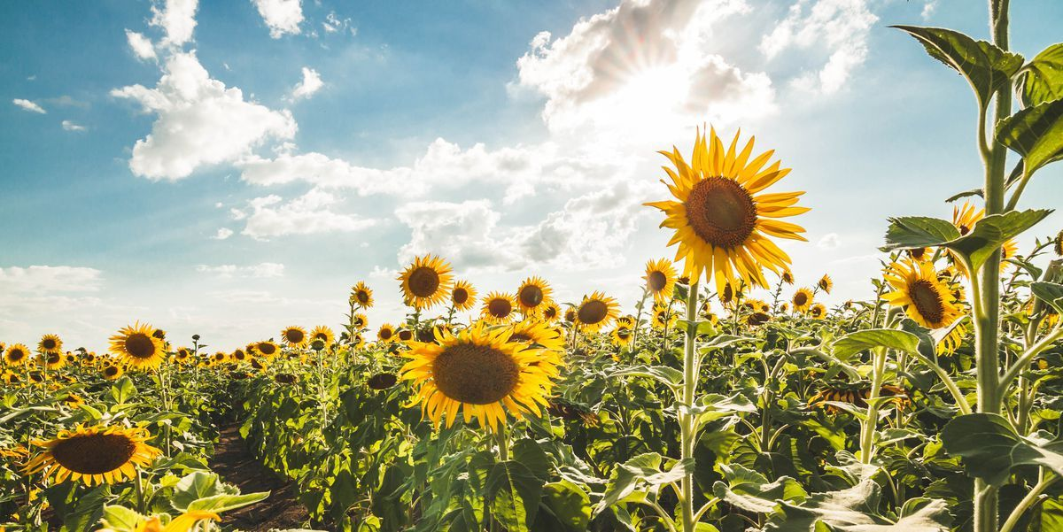 Want to Help Save The Bees? Start Planting Sunflowers in