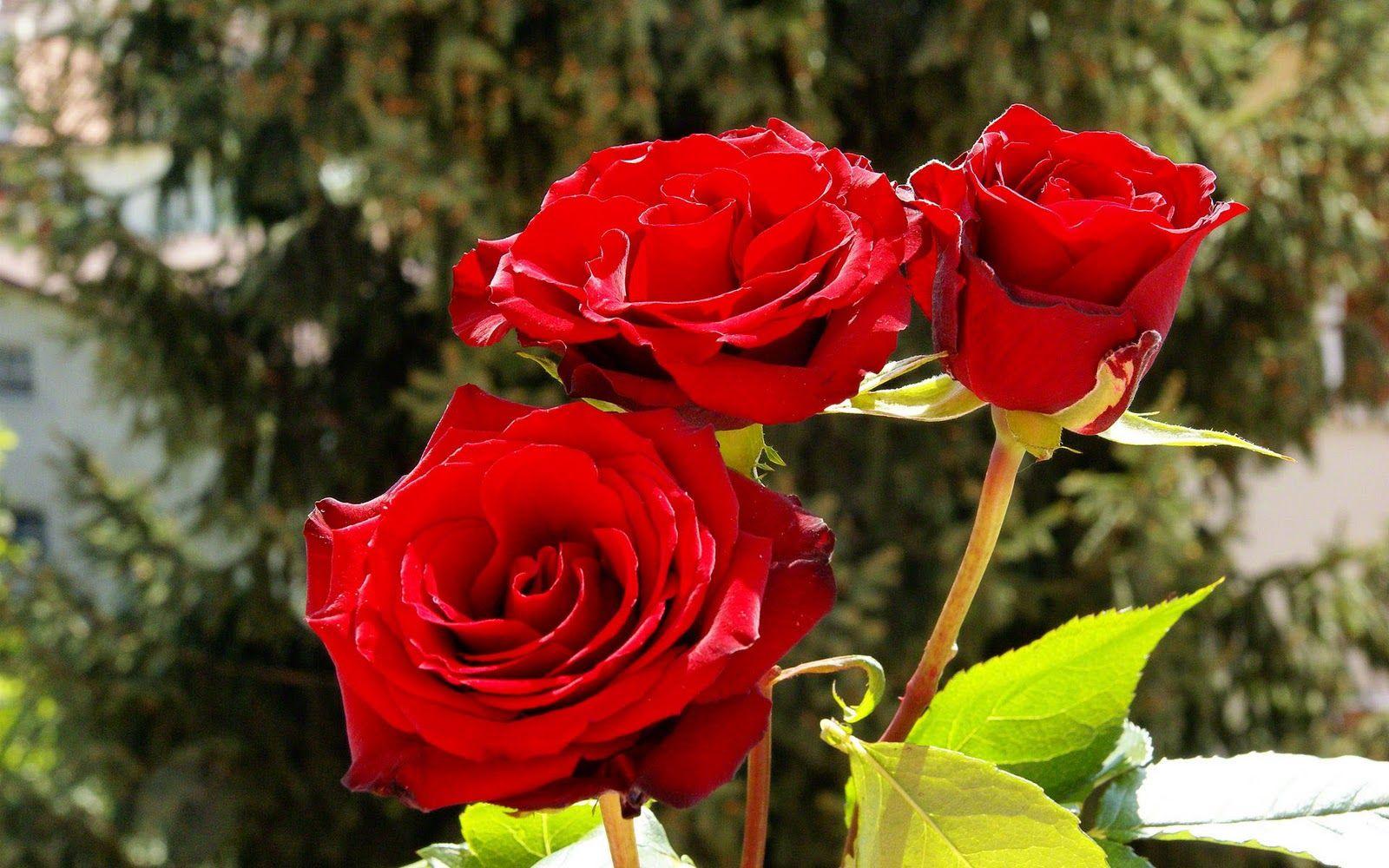 rosa Rosen Wallpaper HD