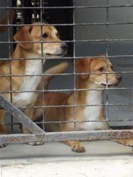Adopt Mason On Chihuahua Dogs Animal Shelter Chihuahua