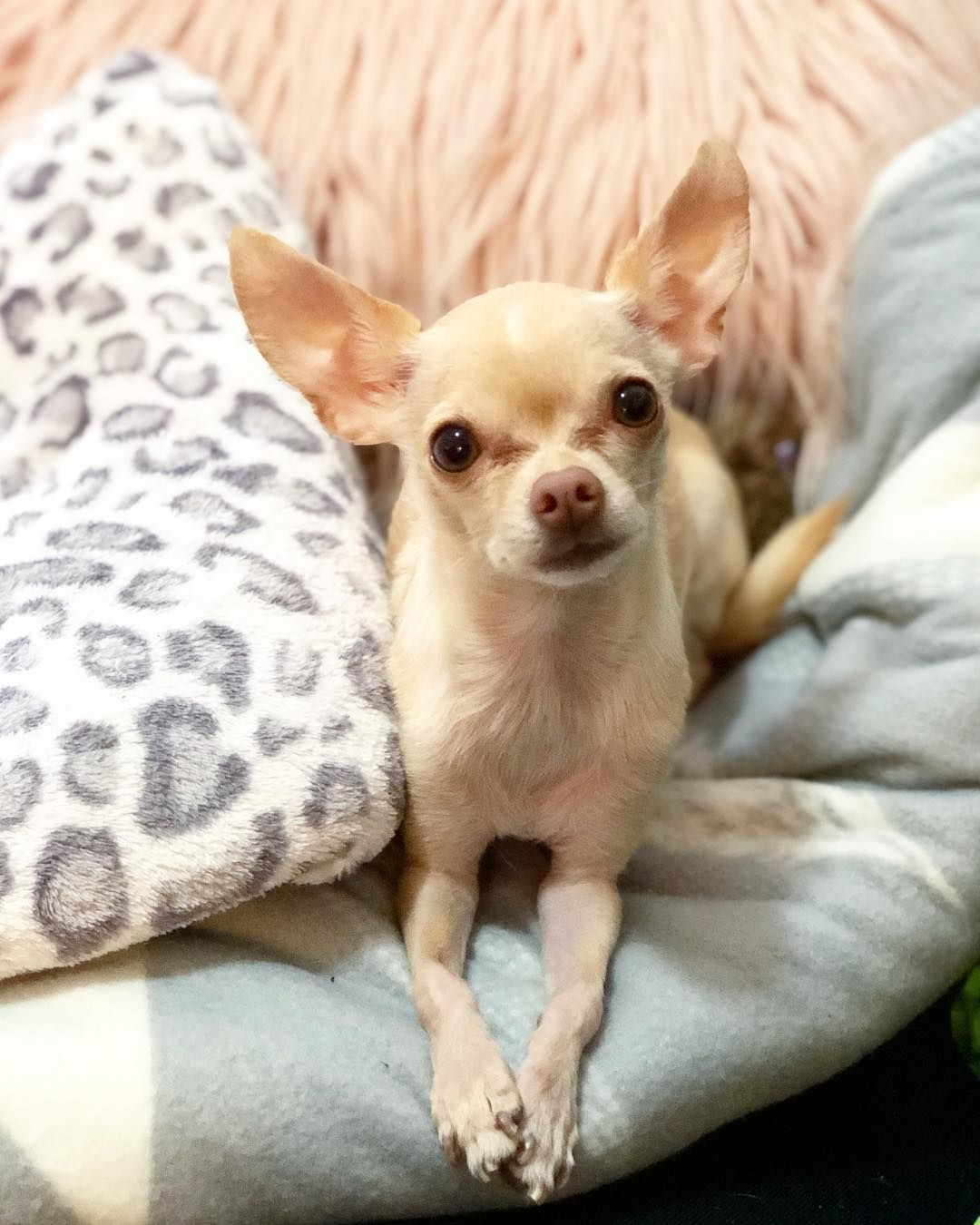 Edie The Chihuahua The Most Fabulous Dog In New York Cute
