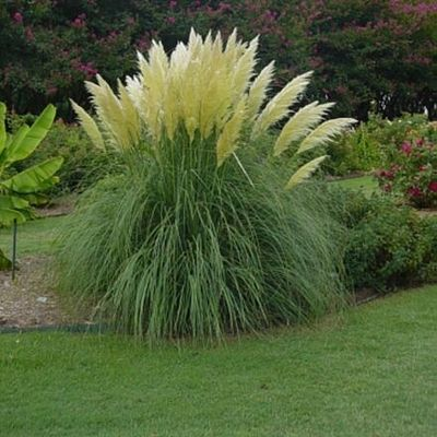 Dwarf Grasses Landscaping Dwarf pampas grass my mother in law gave me a starter two years ago jet streams dwarf pampas grass from garden debut workwithnaturefo
