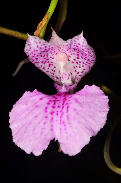 Orchid: Comparettia macroplectron - Flickr - Photo Sharing!