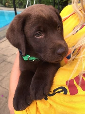 29 Puppies Who Are Far Too Cute For This World Labrador