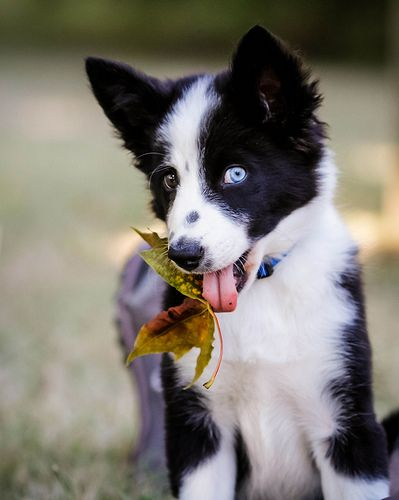 Puppy Party Dogs Collie Puppies Border Collie Blue Eyes