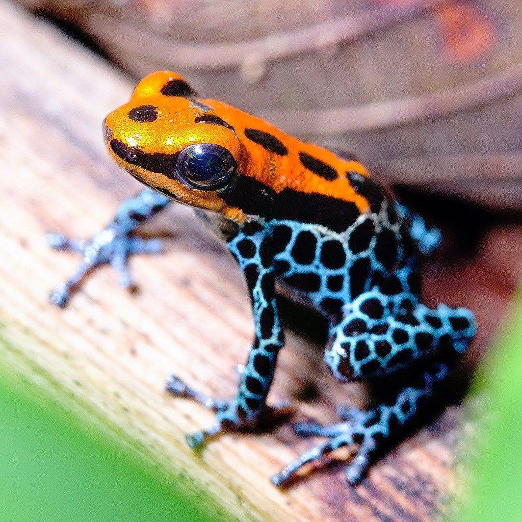Poison Dart Frog Amazon Peru Frogsofinstagram Macroworld