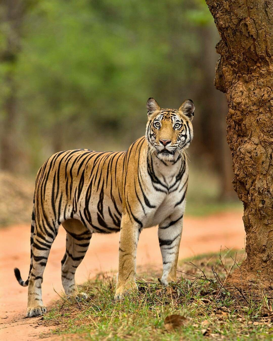 Pin by appa jadhav on Indian TIGER (With images) Wild
