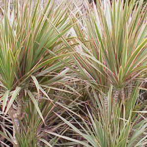 Dracaena marginata 39 bicolor 39 nombre popular tipolog a for Arbustos de hoja perenne resistentes al frio