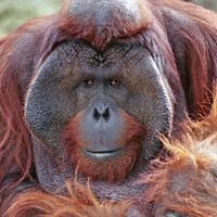 Male Orangutan Bruno One Of Our Kids Bruno Was Born At Como Zoo And Lived With Our Family For Over Two Ye Bornean Orangutan Orangutan Orangutan Sanctuary