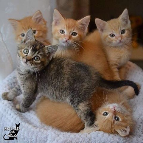 Four Orange And One Tabby Kittens Cat Kittens Orangekittens