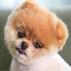 Boo Dog Is Soooo Cute Boo Dog Merchandise Boo The Dog World Cutest Dog Cute Dogs