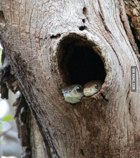 Boomslang(L) Black Mamba(R). Two of Africa's deadliest snakes cuddling in a tree. Credit to Adam Baugh