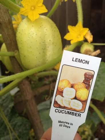 Ever heard of lemon cucumbers? Easier to grow than regular cucumbers and just as delicious.