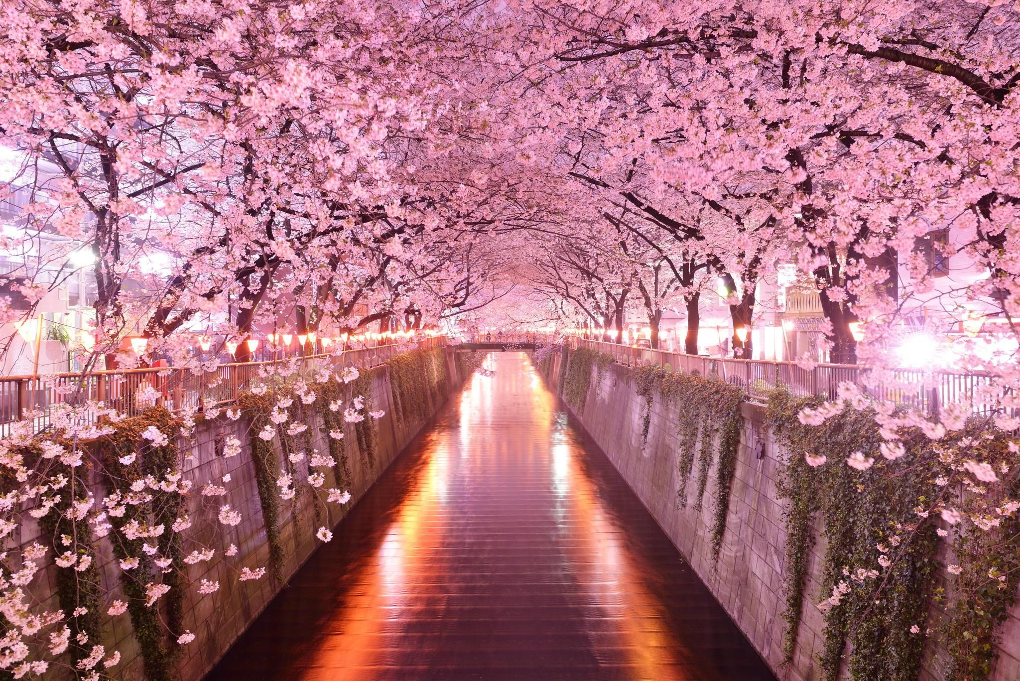 Japan Sakura Background Wallpapers HD Wallpapers 2048x1367