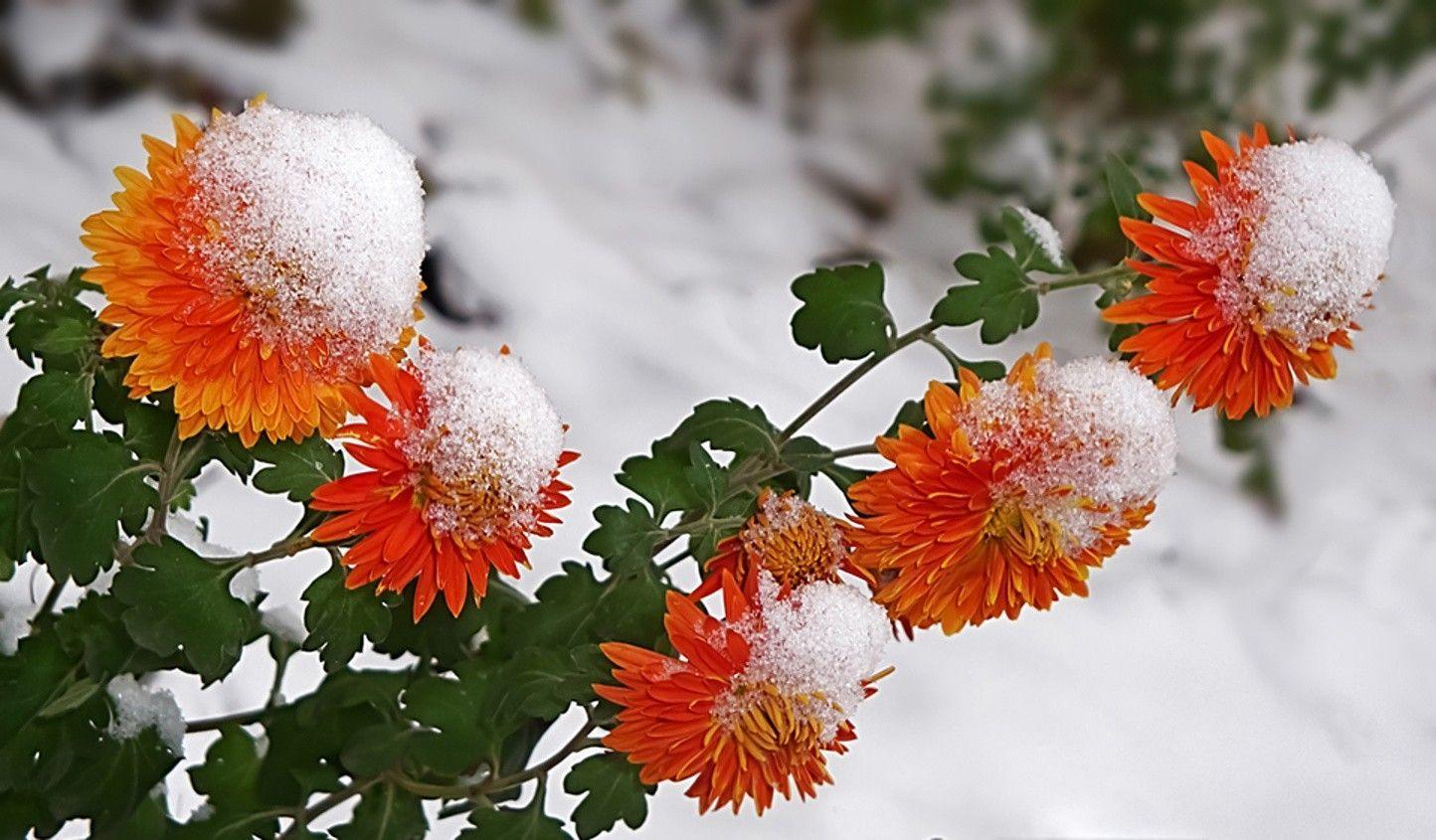 Free Download Winter Flowers Image Winter Flowers Flower Wallpaper Flowers