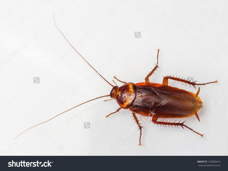 American Cockroach Periplaneta Americana Isolated On White