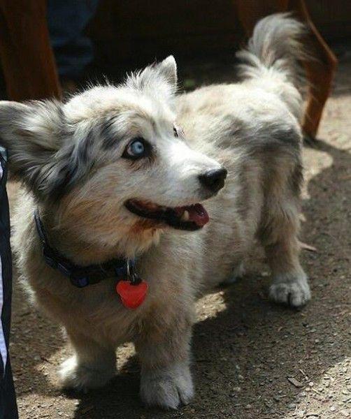 Adorable Dog Breed Mash Up Corgi Husky Mix Corgi Husky Mixed Breed Dogs