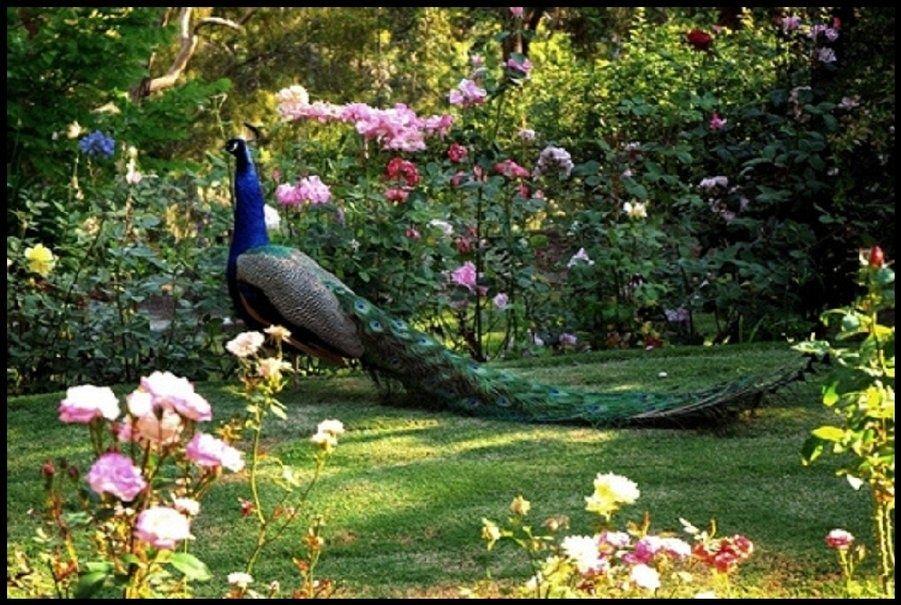 pavo real en el jardín de rosas fondo de pantalla - ForWallpaper.com ...