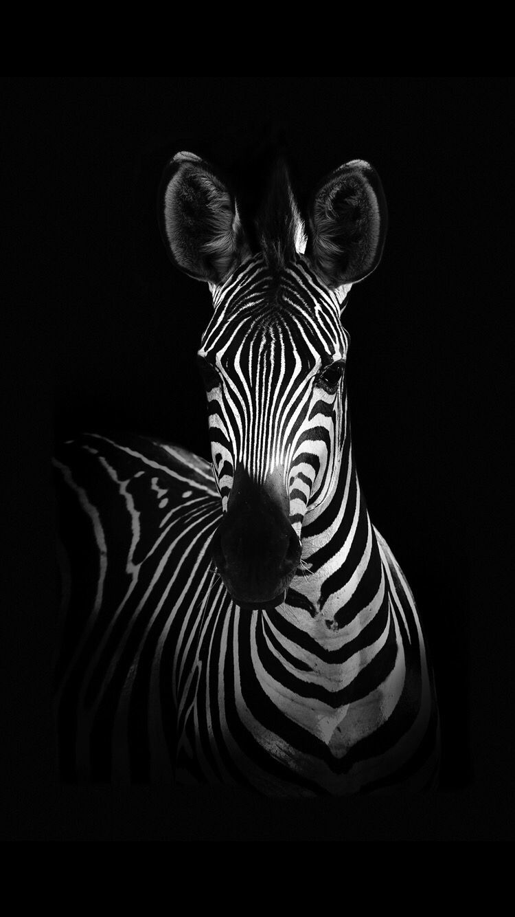Zebra Wallpaper For Your Iphone X From Everpix Pinturas De