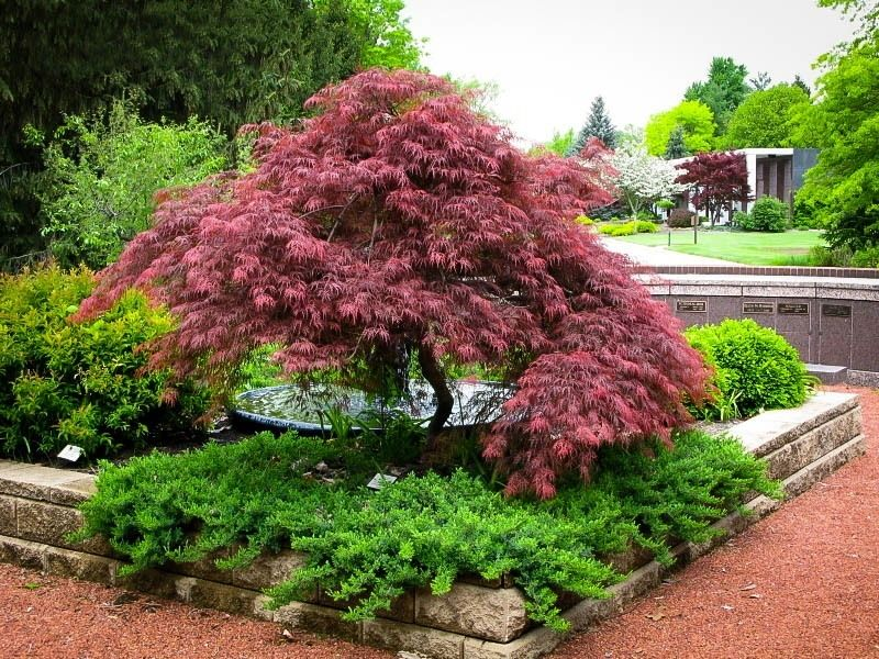 Garnet Japanese Maple Japanese Garden Plants Maple Tree