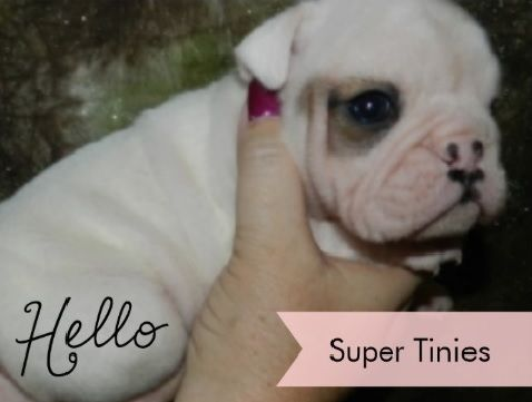 Litter Of 7 Olde English Bulldogge Puppies For Sale In Farmington