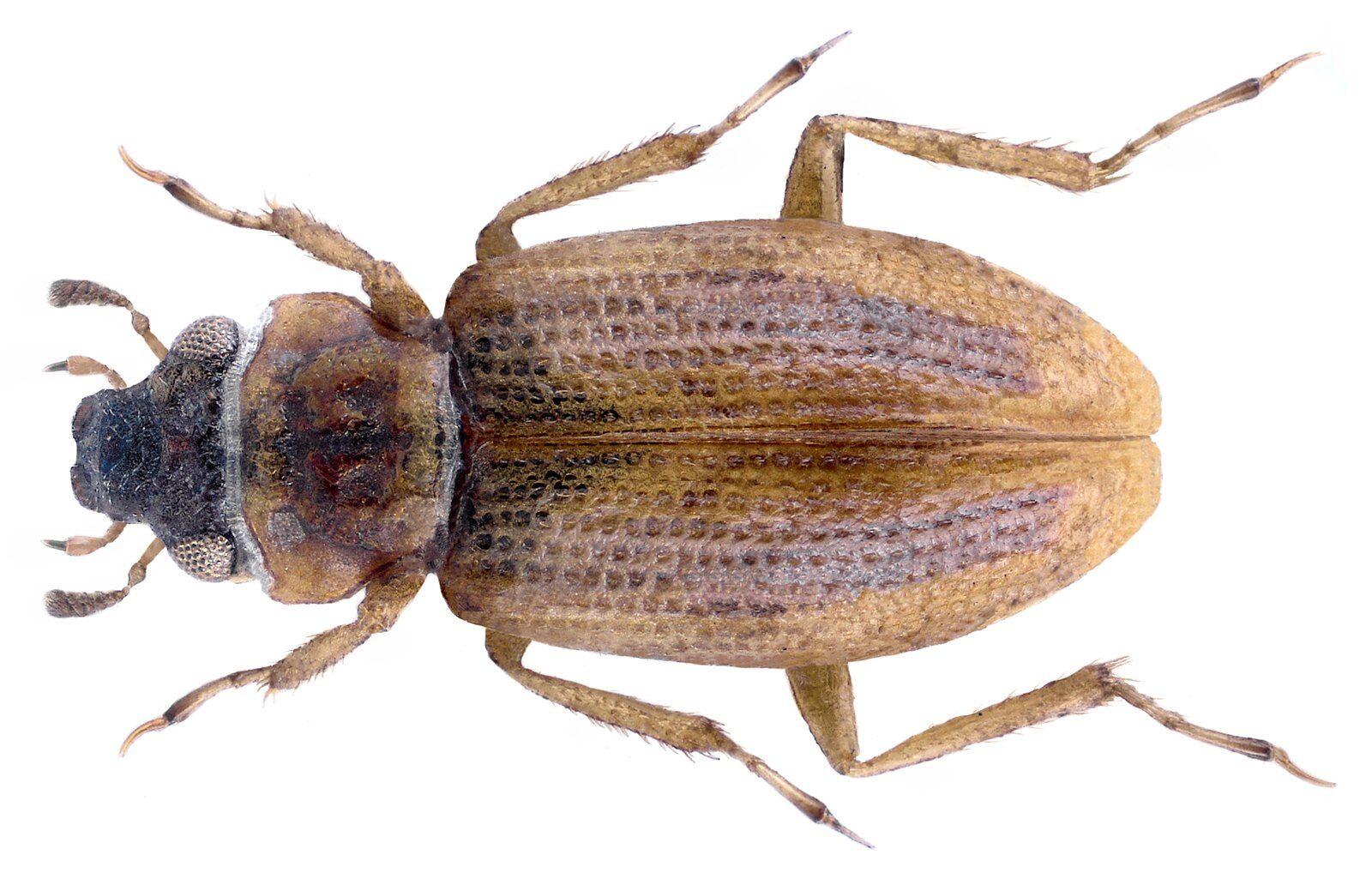 Pin Auf Kafer Coleoptera Beetles