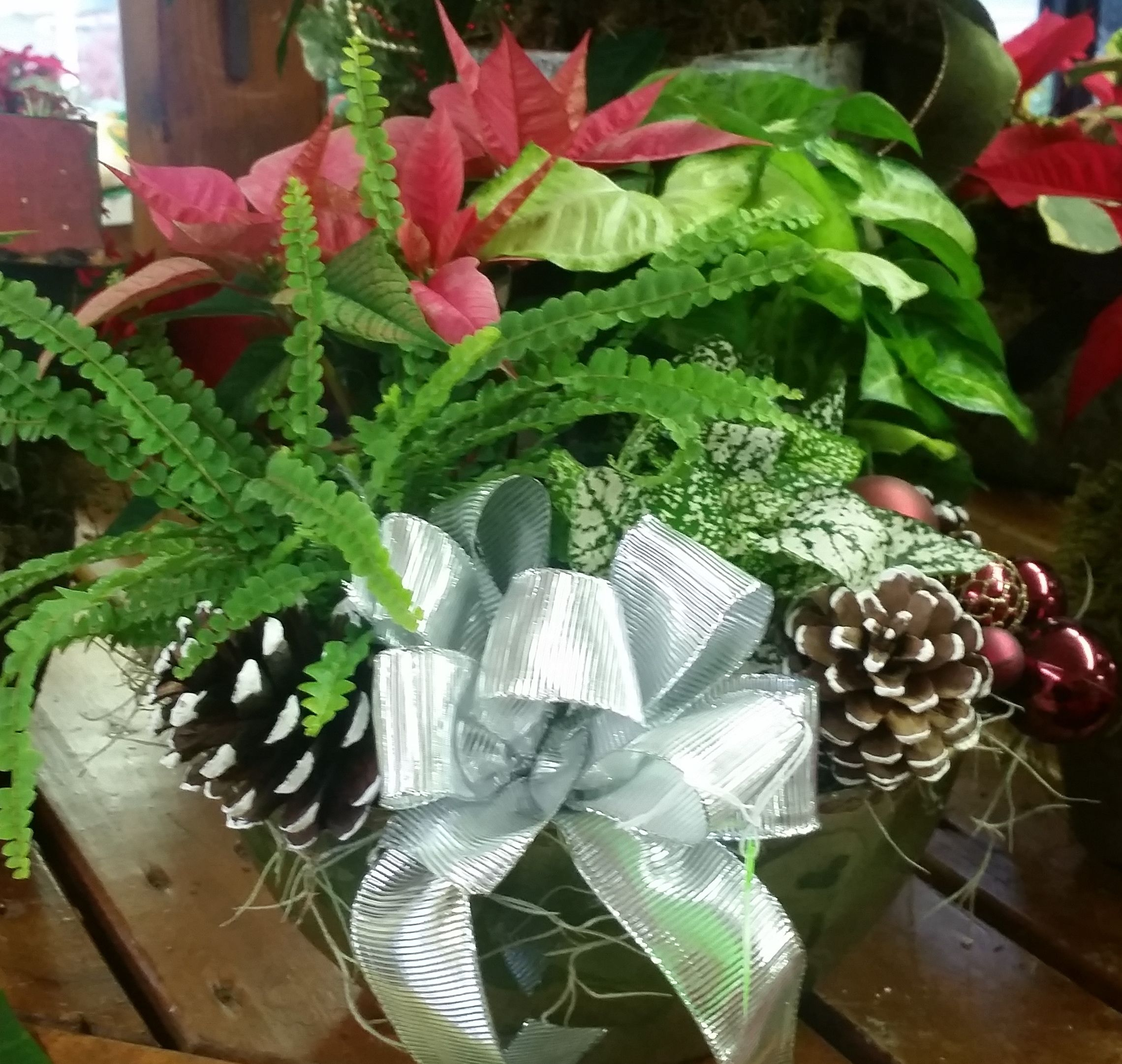 Holiday planter with a fern poinsettia and polka dot plant adorned