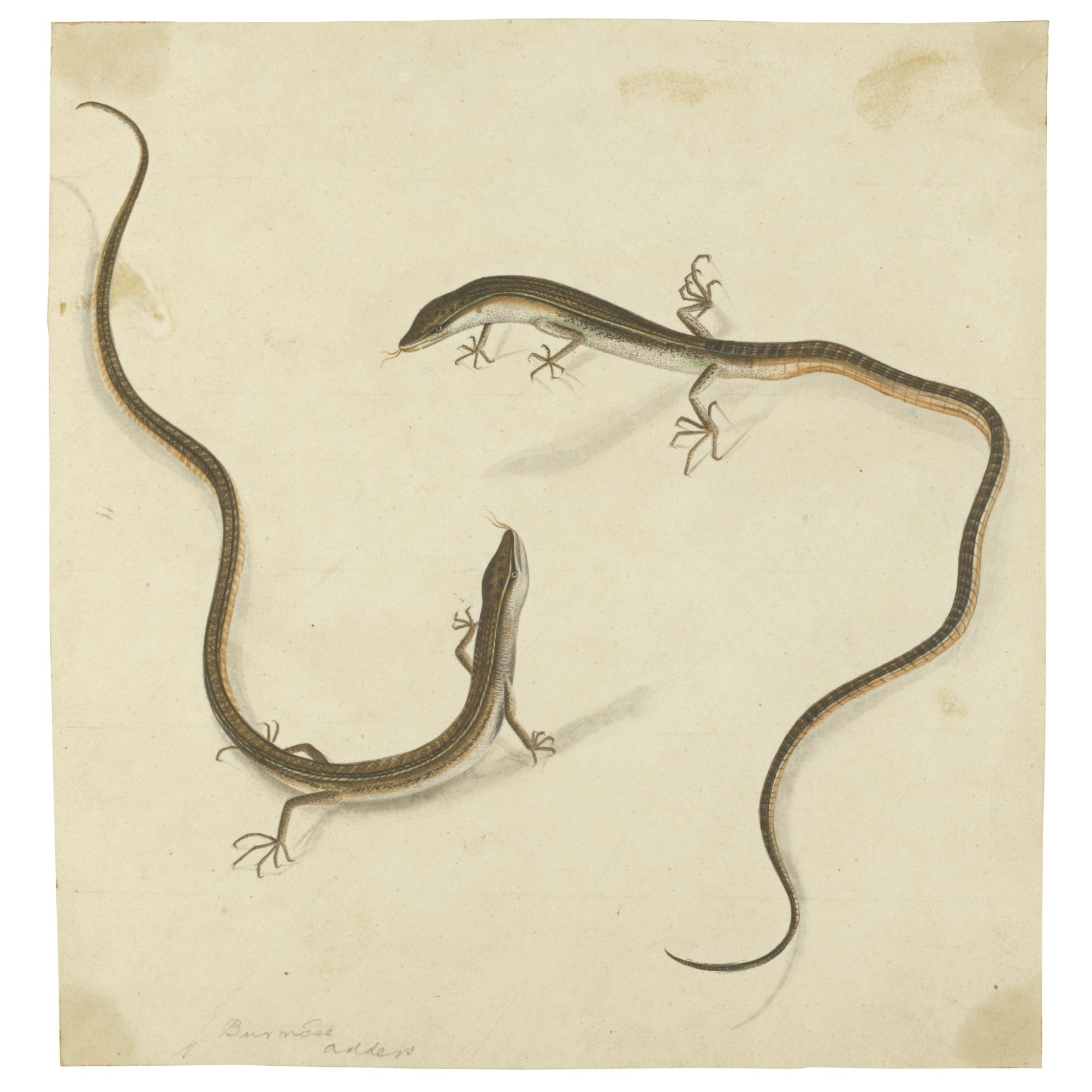 TWO BURMESE ADDERS, COMPANY SCHOOL, PROBABLY BARRACKPUR, CALCUTTA, CIRCA 1810 | lot | Sotheby's