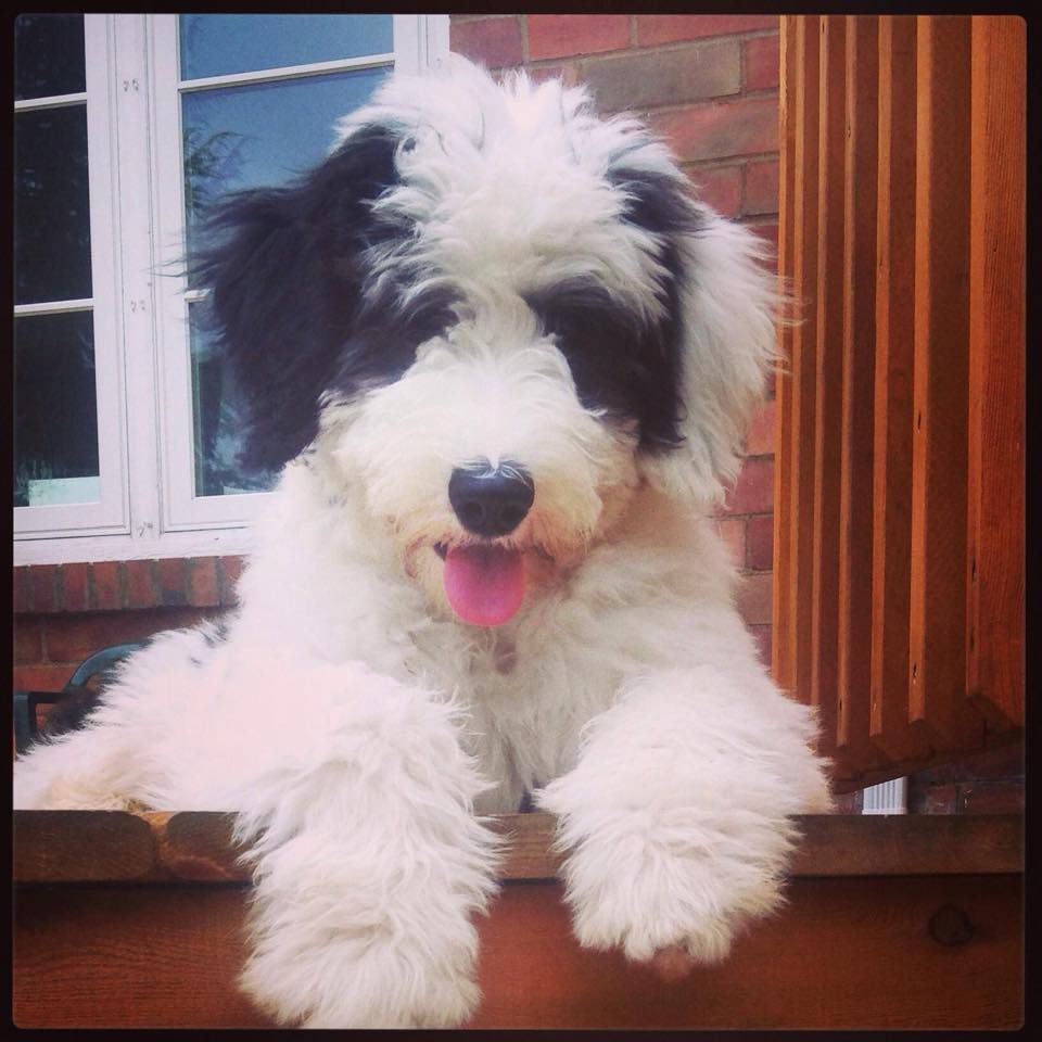 Pin By Amanda On Animals Old English Sheepdog Dog Love English