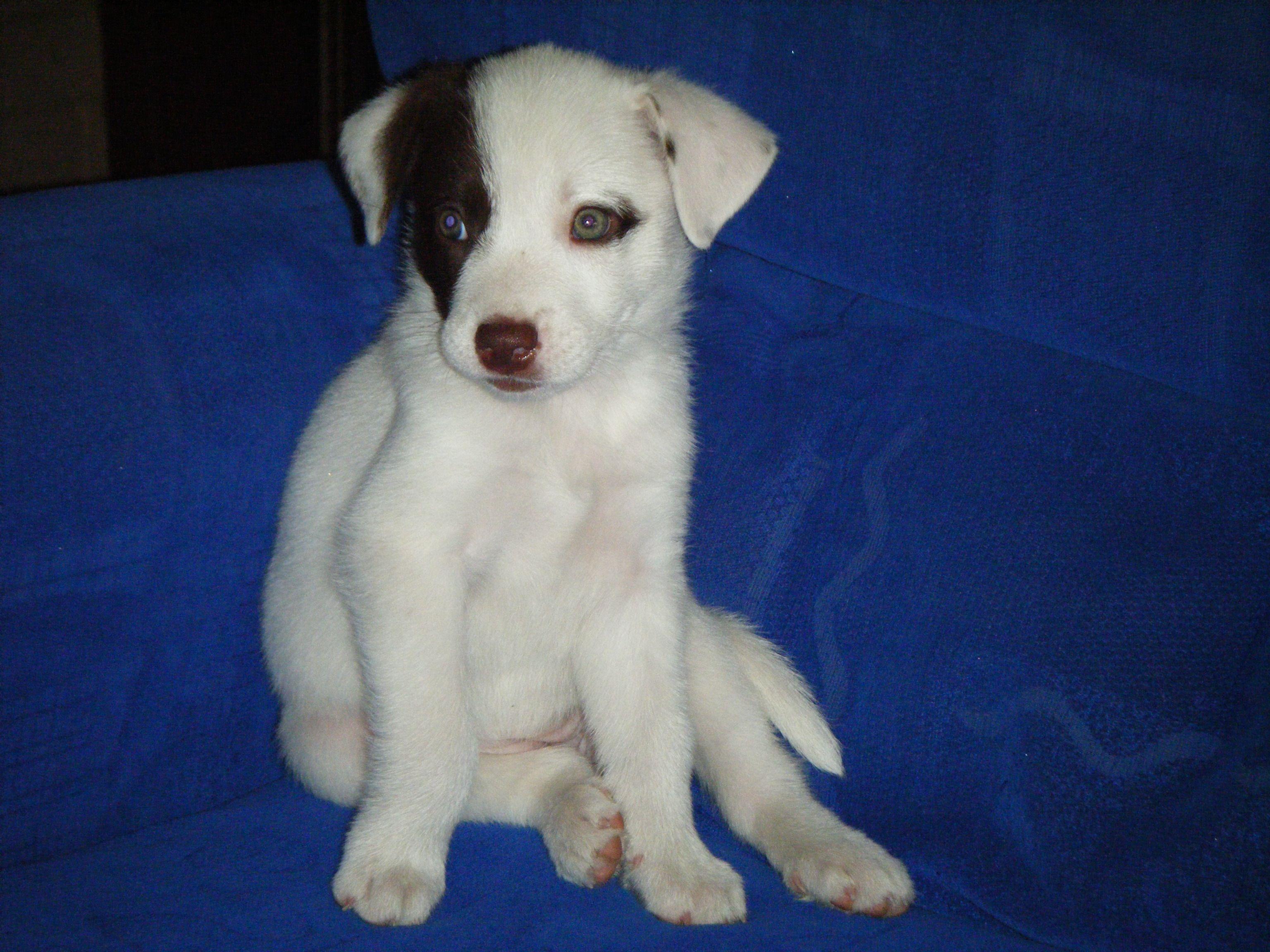 Border Collie X Kelpie My Favorite Dog Breeds Dogs Dog Breeds