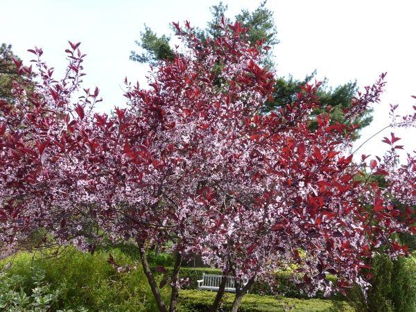 Purple Leaf Sand Cherry Shrub Low Grow Behind Around