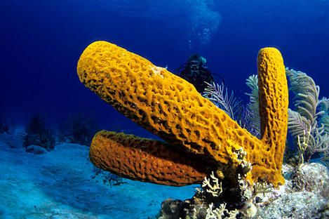 Phlyum Porifera Are Organisms That Are Multicellular Full Of Pores Allowing Water To Filter Through Them For Food And Living Esponja