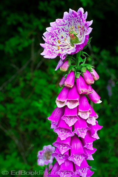 """Love me some flower anomalies! Foxglove (Digitalis purpurea) anomaly peloric monstrous terminal flower mutation caused by a double recessive gene at a locus called """"centroradialis""""."""
