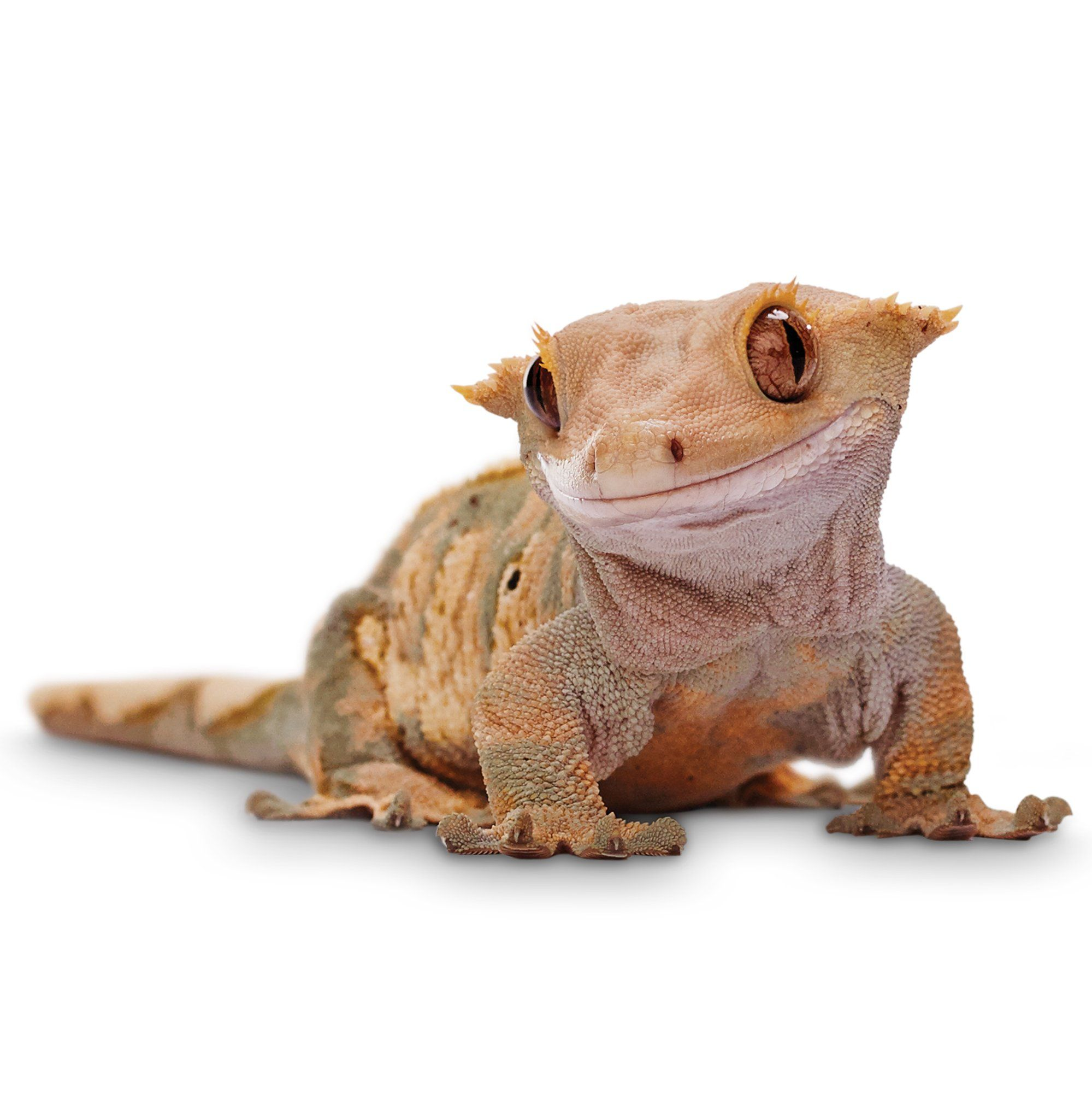 The Crested Gecko Is Also Known As The New Caledonian Gecko Or Even