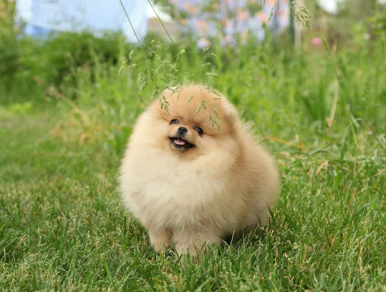 Pin By Yrasel Ramirez On Puppies Pinterest Pomeranians Animal
