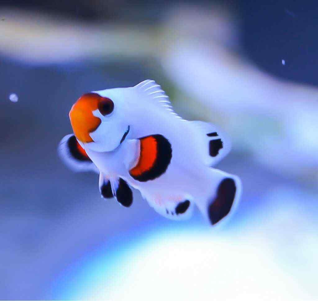Platinum Clownfish Saltwater Aquarium Fish Clown Fish Beautiful Sea Creatures