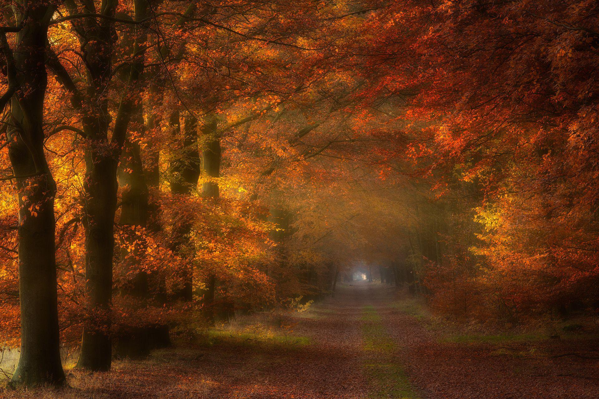 Zonlicht verlicht de herfstkleuren in een ouden beuken laan