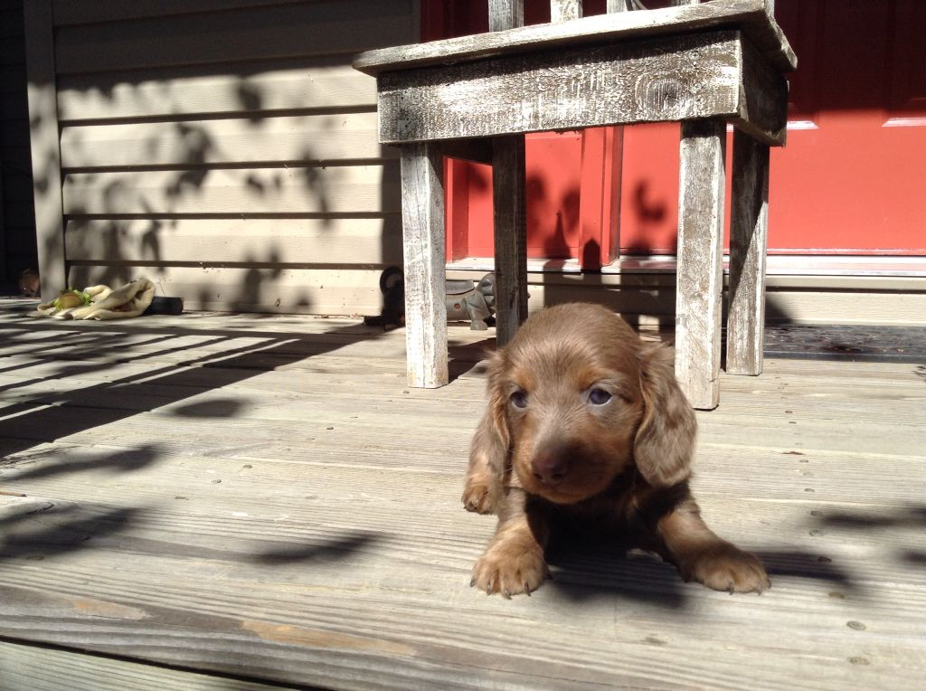 Dachshund Puppies For Sale In North Alabama Ideas
