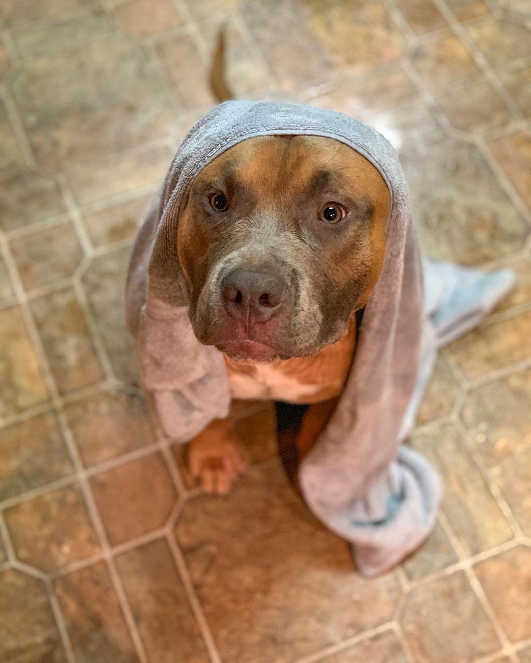 Follow Pitbulldogstuff Someone Got A Bath Pitbull Puppy Pitty