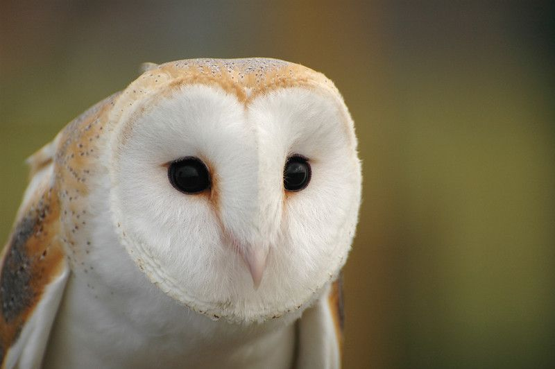 Image Result For Tytonidae Barn Owl Owl Owl Bird