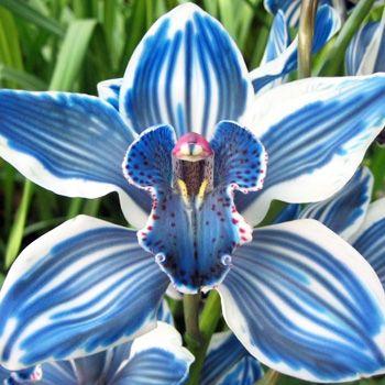 Blue Cymbidim Orchid Flores Inusuales Flores Exoticas Flores Extranas